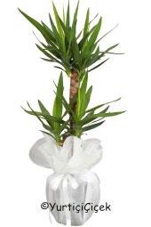 İkili Yukka Saksı Çiçeği   Gönderdiğiniz her ortamda sizi en güzel şekilde temsil edecek yuka bitkisi ev, ofis, işyeri gibi yerlerde bakılabilir. Yaklaşık Ürün Boyutu : 80 cm