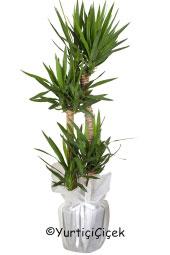 Dörtlü Yukka Saksı Bitkisi Gönderdiğiniz her ortamda sizi en güzel şekilde temsil edecek Yuka bitkisi ev, ofis, işyeri gibi yerlerde bakılabilir. Yaklaşık Ürün Boyutu : 1,5 metre