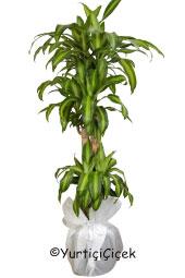 Dörtlü Massangena Saksı Bitkisi Gönderdiğiniz her ortamda sizi en güzel şekilde temsil edecek Massangena bitkisi ev, ofis, işyeri gibi yerlerde bakılabilir.