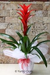 Guzmanya Saksı Çiçeği   Gönderdiğiniz her ortamda sizi en güzel şekilde temsil edecek guzmanya bitkisi ev, ofis, işyeri gibi yerlerde bakılabilir. Yaklaşık Ürün Boyutu : 40 cm