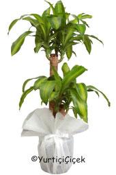 Massengena Saksı Çiçeği   Gönderdiğiniz her ortamda sizi en güzel şekilde temsil edecek massengena bitkisi ev, ofis, işyeri gibi yerlerde bakılabilir. Yaklaşık Ürün Boyutu : 80 cm