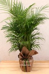 Areka Saksı Çiçeği   Gönderdiğiniz her ortamda sizi en güzel şekilde temsil edecek areka bitkisi ev, ofis, işyeri gibi yerlerde bakılabilir. Yaklaşık Ürün Boyutu : 130 cm