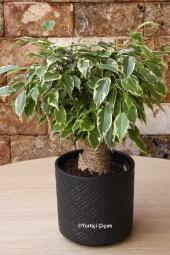 Mandalina ağacı, meyveli ve hoş görünümü ile sevdiklerinizi çok ama çok mutlu edecektir. Yaklaşık ürün boyutu 30 cm