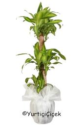 Üçlü Massengena Saksı Bitkisi  Gönderdiğiniz her ortamda sizi en güzel şekilde temsil edecek Massengena bitkisi ev, ofis, işyeri gibi yerlerde bakılabilir. Yaklaşık Ürün Boyutu : 130 cm