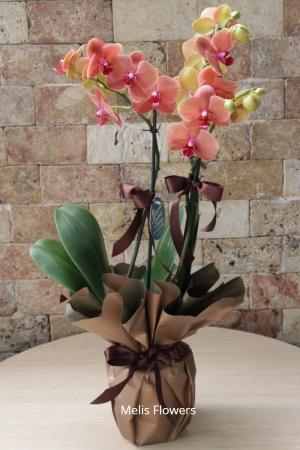 Turuncu Taba Renkli Orkide