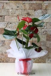 Antoryum Saksı Çiçeği   Gönderdiğiniz her ortamda sizi en güzel şekilde temsil edecek Antoryum bitkisi ev, ofis, işyeri gibi yerlerde bakılabilir.  Yaklaşık Ürün Boyutu : 60 cm
