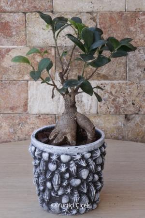 Taş Saksı Bonsai Ağacı