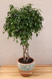 Örgülü Benjamin Saksı Bitkisi Boyu 120 cm  Gönderdiğiniz her ortamda sizi en güzel şekilde temsil edecek Örgülü Benjamin bitkisi ev, ofis, işyeri gibi yerlerde bakılabilir.