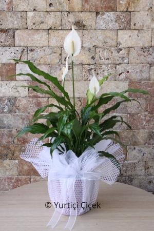 Saksı Çiçeği Spati