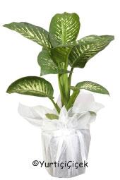 Difanbahya Saksı Bitkisi Gönderdiğiniz her ortamda sizi en güzel şekilde temsil edecek Difanbahya bitkisi ev, ofis, işyeri gibi yerlerde bakılabilir.