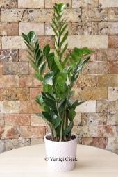 Antoryum Saksı Bitkisi Boyu : 70 cm Gönderdiğiniz her ortamda sizi en güzel şekilde temsil edecek Antoryum bitkisi ev, ofis, işyeri gibi yerlerde bakılabilir.