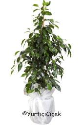 Benjamin Saksı Çiçeği   Gönderdiğiniz her ortamda sizi en güzel şekilde temsil edecek Benjamin Bitkisi ev, ofis, işyeri gibi yerlerde bakılabilir. Yaklaşık Ürün Boyutu : 80 cm