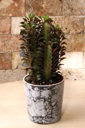 Euphorbia Rubra Kaktüs