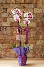 Ponsetya(Atatürk Çiçeği) doğanın capcanlı rengini taşıyan güzelliği ile sevdiklerinizin yaşam ortamlarını renklendirecektir.
