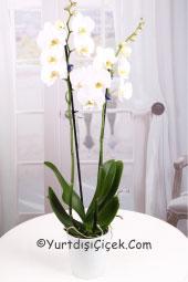 Sevginizi ve zerafetinizi yurtdışındaki sevdiklerinize orkide göndererek capcanlı bir sürpriz yapabilirsiniz.