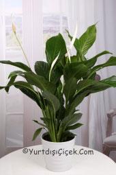 Saksı çiçeği spatifilyum ile yurtdışındaki sevdiklerinize en kaliteli canlı çiçeklerden gönderebilirsiniz.
