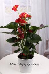Yurtdışındaki sevdiklerinize doğal bir çiçek göndermek istiyorsanız saksı çiçeği antoryum tam aradığınız ürün olacaktır.