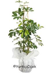 Şeflera Saksı Çiçeği    Gönderdiğiniz her ortamda sizi en güzel şekilde temsil edecek Şeflera Bitkisi ev, ofis, işyeri gibi yerlerde bakılabilir.