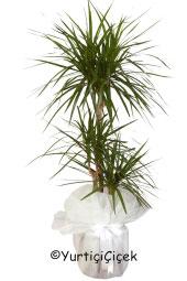 Üçlü Marginata Saksı Bitkisi Gönderdiğiniz her ortamda sizi en güzel şekilde temsil edecek Marginata bitkisi ev, ofis, işyeri gibi yerlerde bakılabilir. Yaklaşık Ürün Boyutu : 100 cm