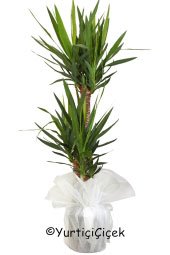 Üçlü Yukka Saksı Bitkisi  Gönderdiğiniz her ortamda sizi en güzel şekilde temsil edecek Yukka bitkisi ev, ofis, işyeri gibi yerlerde bakılabilir.Yaklaşık Ürün Boyutu : 130 cm