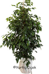Benjamin Saksı Bitkisi  Gönderdiğiniz her ortamda sizi en güzel şekilde temsil edecek Benjamin bitkisi ev, ofis, işyeri gibi yerlerde bakılabilir.  Yaklaşık Ürün Boyutu : 130 cm