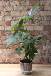 Pachira ağacının muhteşem güzelliği ile sevdiklerinize unutulmaz bir sürpriz yapmaya ne dersiniz? Yaklaşık ürün boyutu: 45 cm