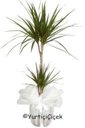 2li Marginata Saksı Çiçeği  Gönderdiğiniz her ortamda sizi en güzel şekilde temsil edecek Marginata bitkisi ev, ofis, işyeri gibi yerlerde bakılabilir. Yaklaşık Ürün Boyutu : 80 cm