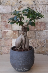 Areka Saksı Bitkisi Gönderdiğiniz her ortamda sizi en güzel şekilde temsil edecek Areka bitkisi ev, ofis, işyeri gibi yerlerde bakılabilir.